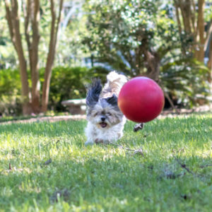 Gainesville Pet Sitters Dog Playing With Ball | Gainesville Pet Sitting